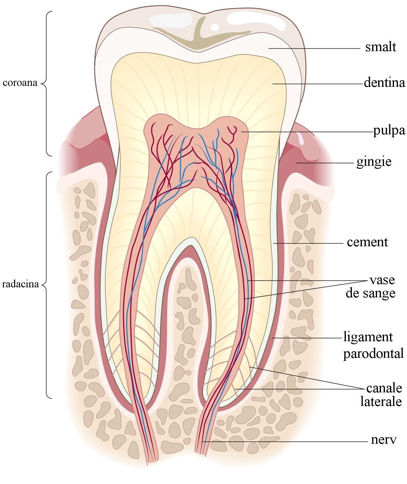 Anatomie-dinte_Cum-arata-un-dinte