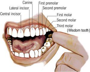teeth-types-