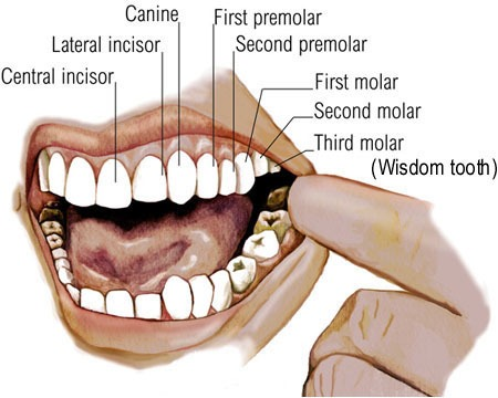 Tooth structure healdental teeth types ccuart Gallery